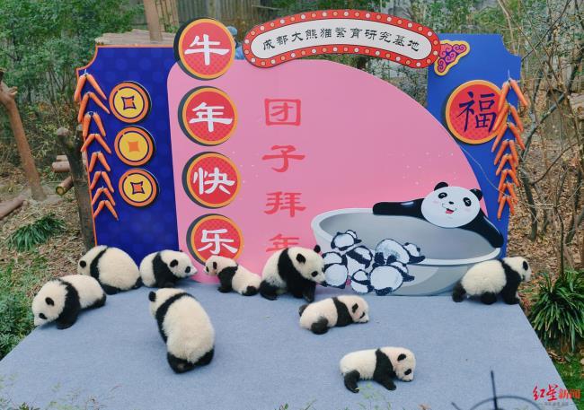网络推广大熊猫优化(学习强国大熊猫频道上线)