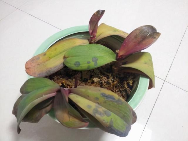 玫瑰竹芋怎么养殖的简单介绍